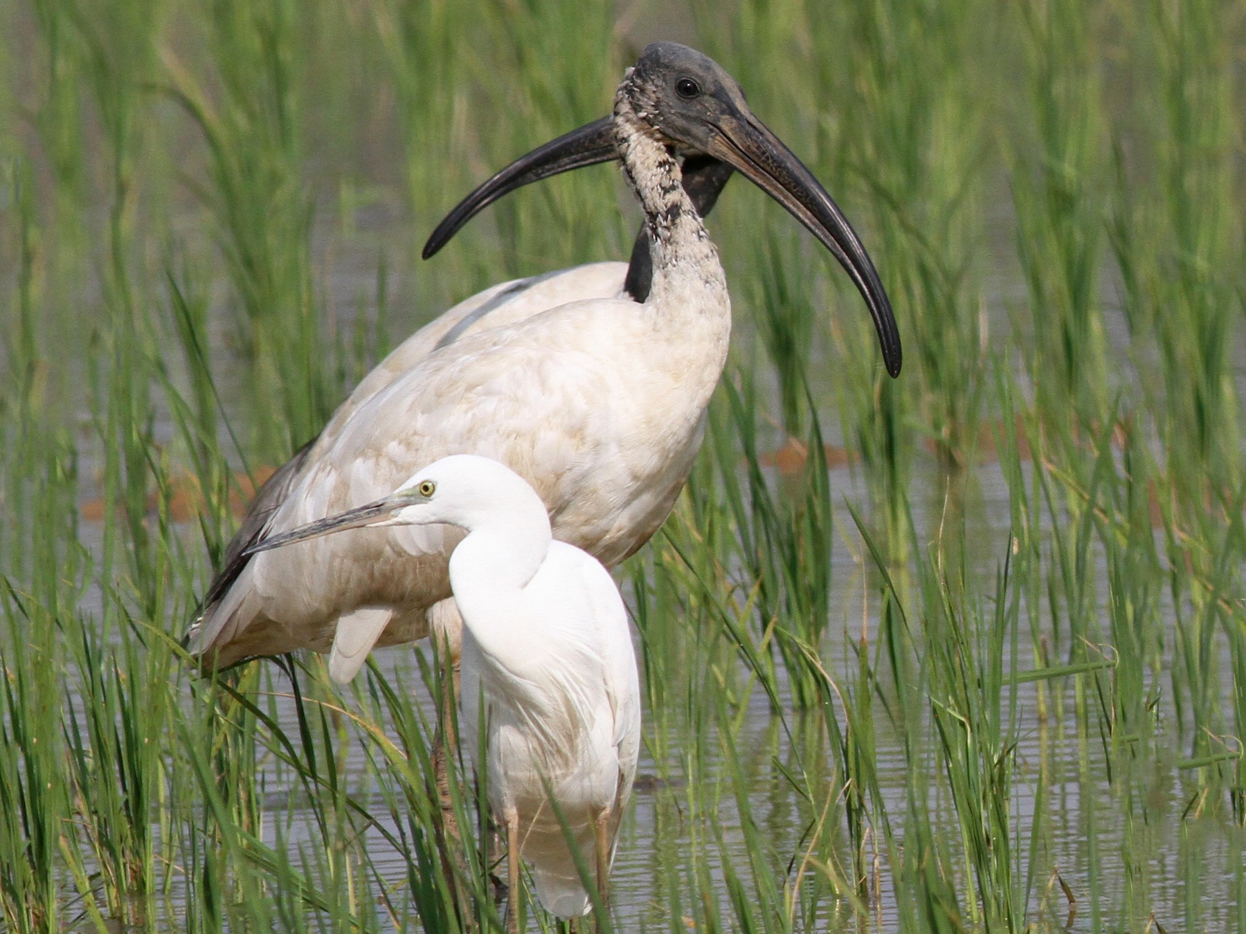 Black-headed Ibis - Manoj Karingamadathil