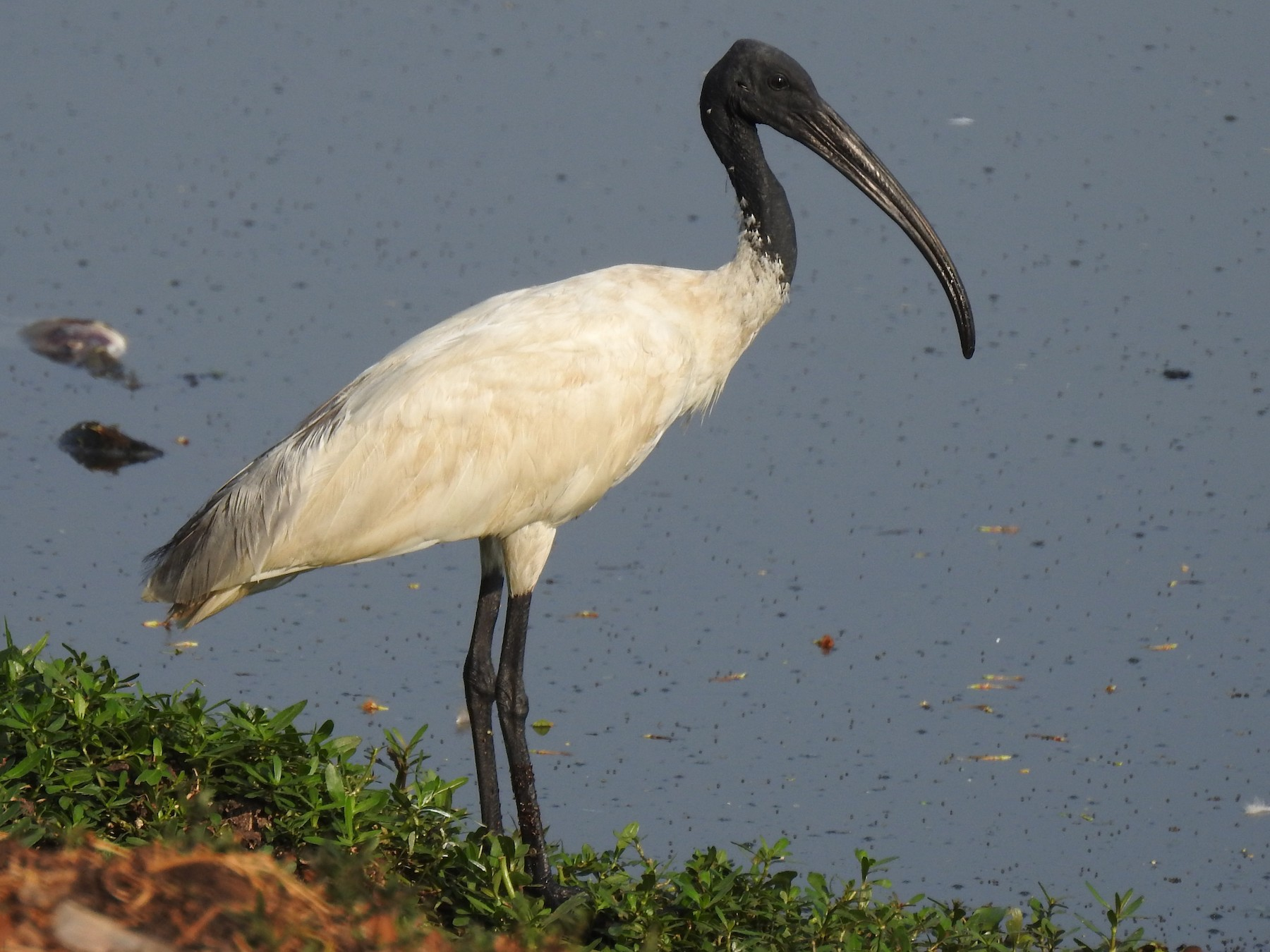 Black-headed Ibis - G Parameswaran