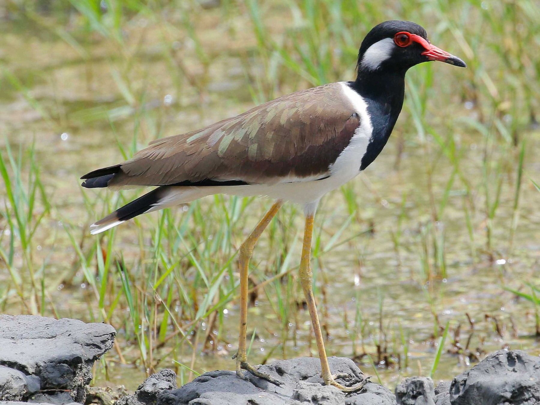 Red-wattled Lapwing - Neoh Hor Kee