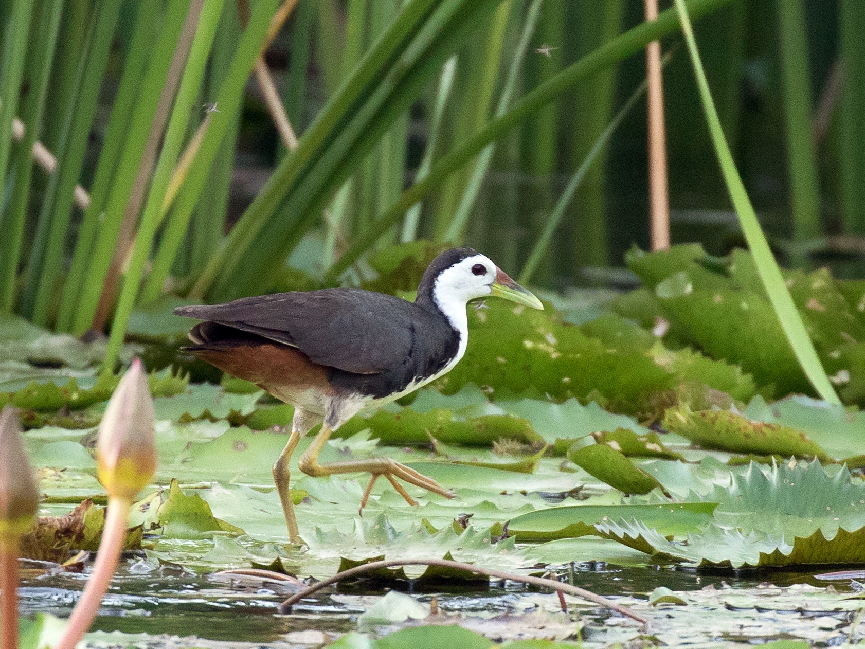 White-breasted Waterhen - Simon Best