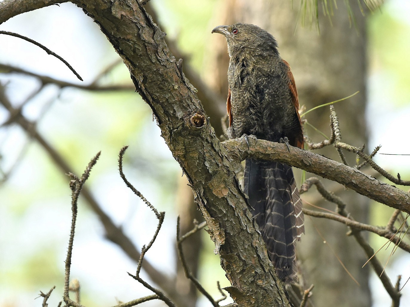 Greater Coucal - 季恩 謝
