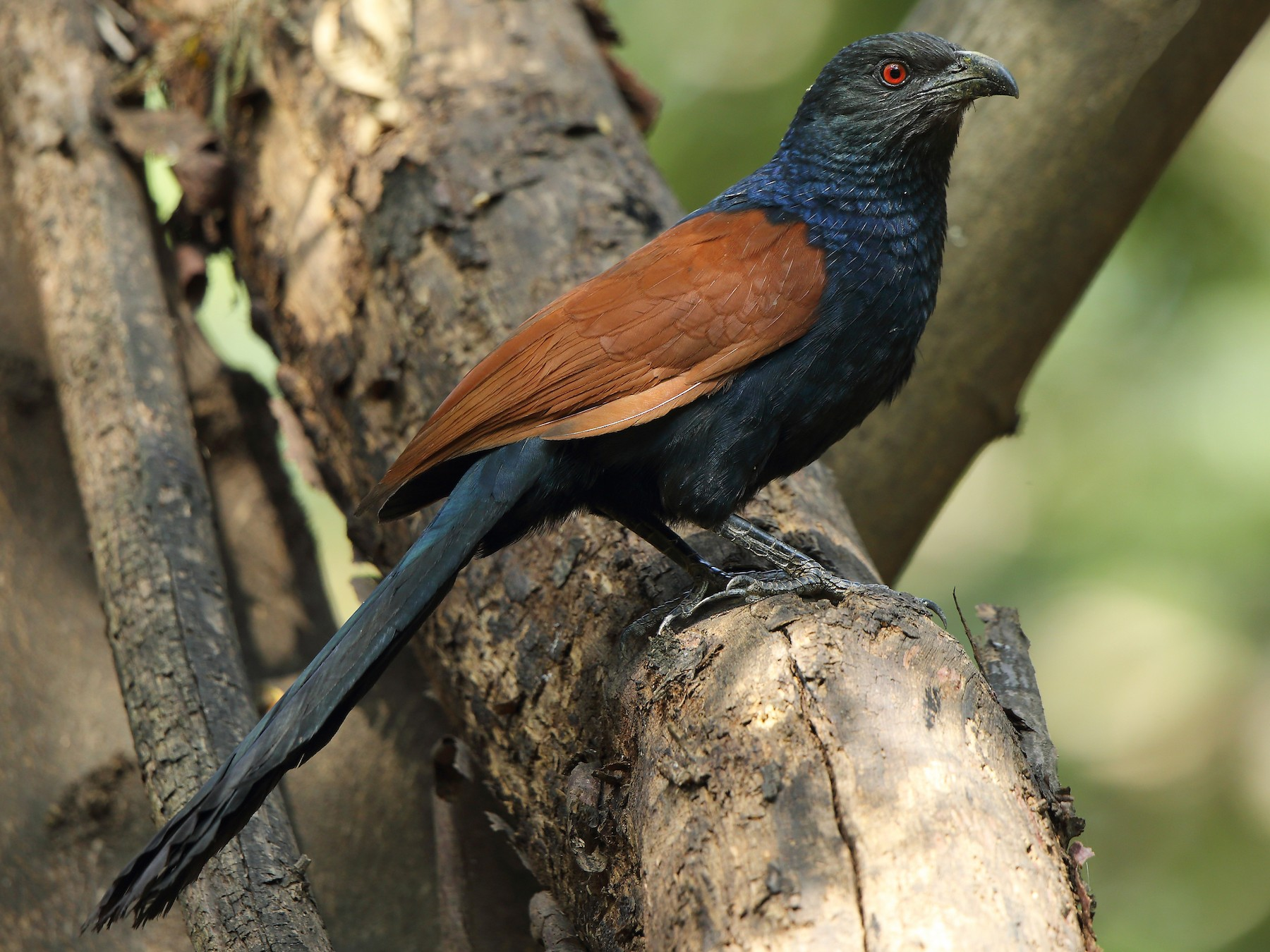 Greater Coucal - Albin Jacob