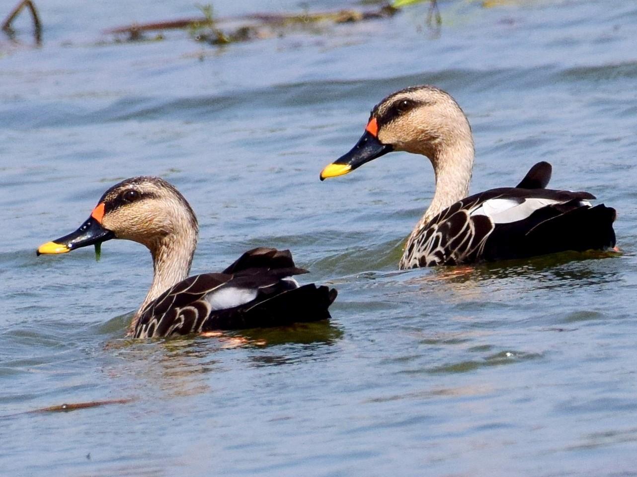 Indian Spot-billed Duck - mathew thekkethala