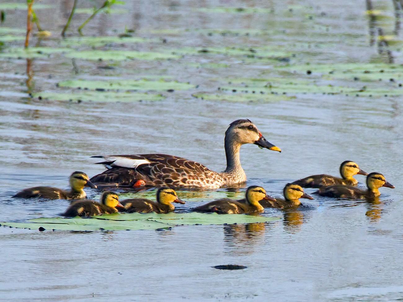 Indian Spot-billed Duck - Muthu Narayanan