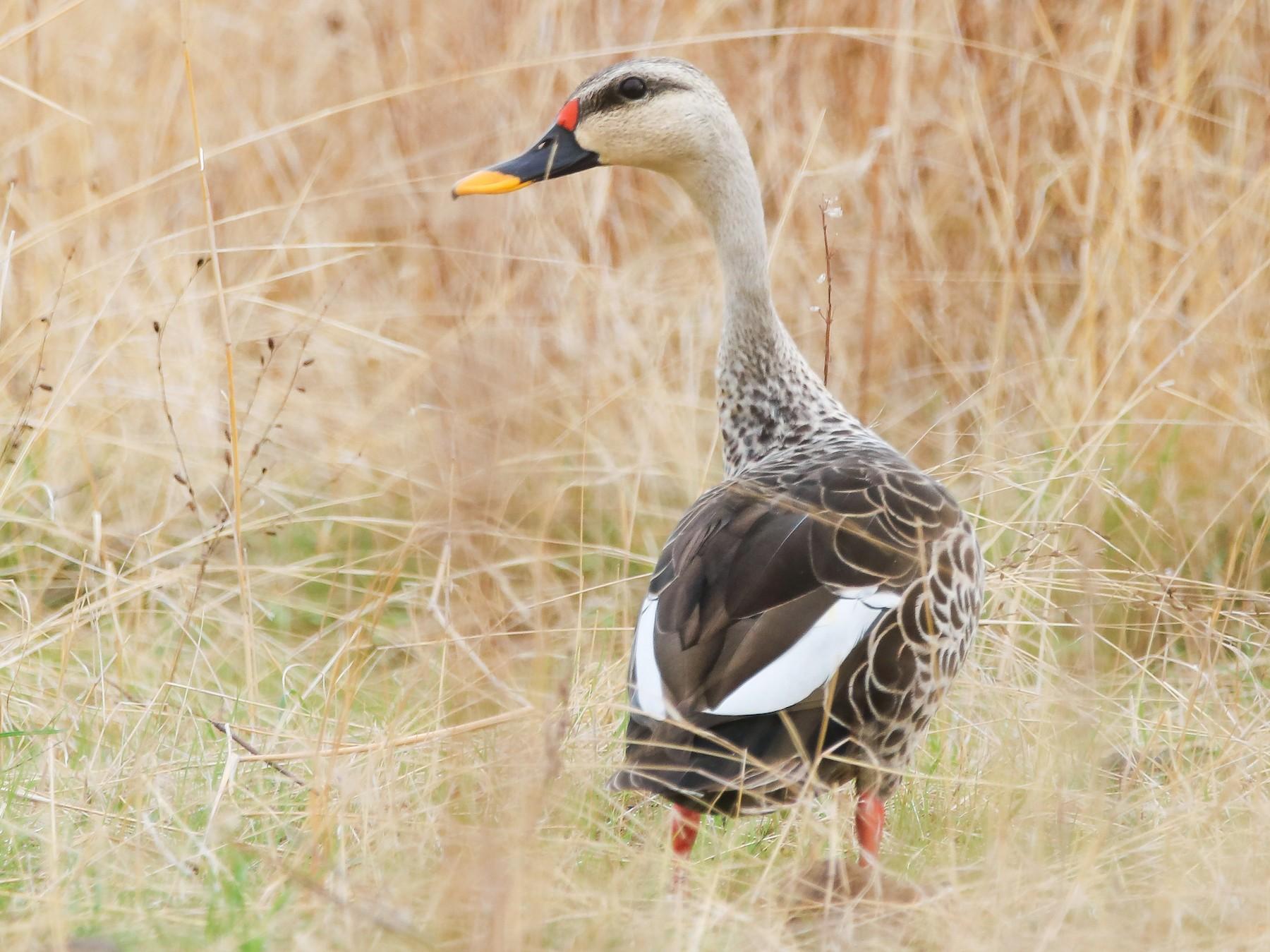 Indian Spot-billed Duck - Indranil Bhattacharjee