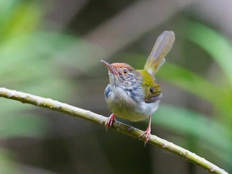 Common Tailorbird - BALESTRA Robert