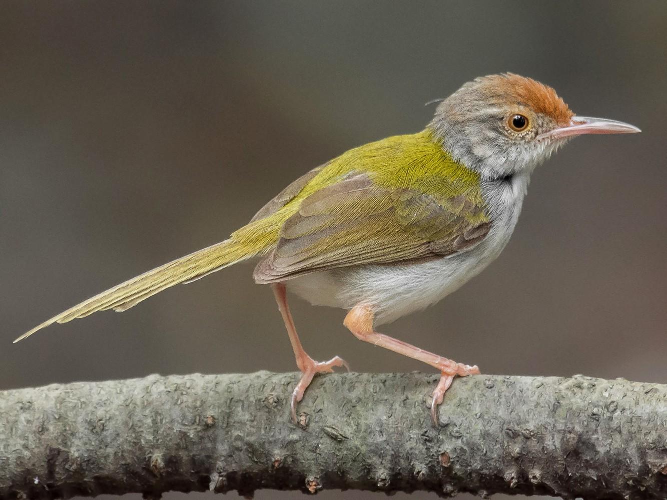Common Tailorbird - Natthaphat Chotjuckdikul