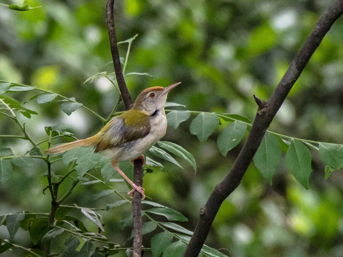 Common Tailorbird - Parmil Kumar