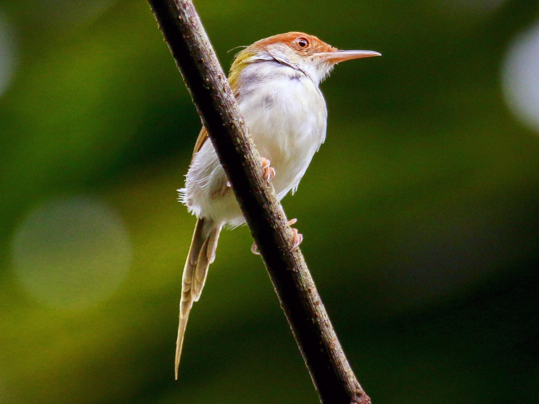 Common Tailorbird - Tommy Pedersen