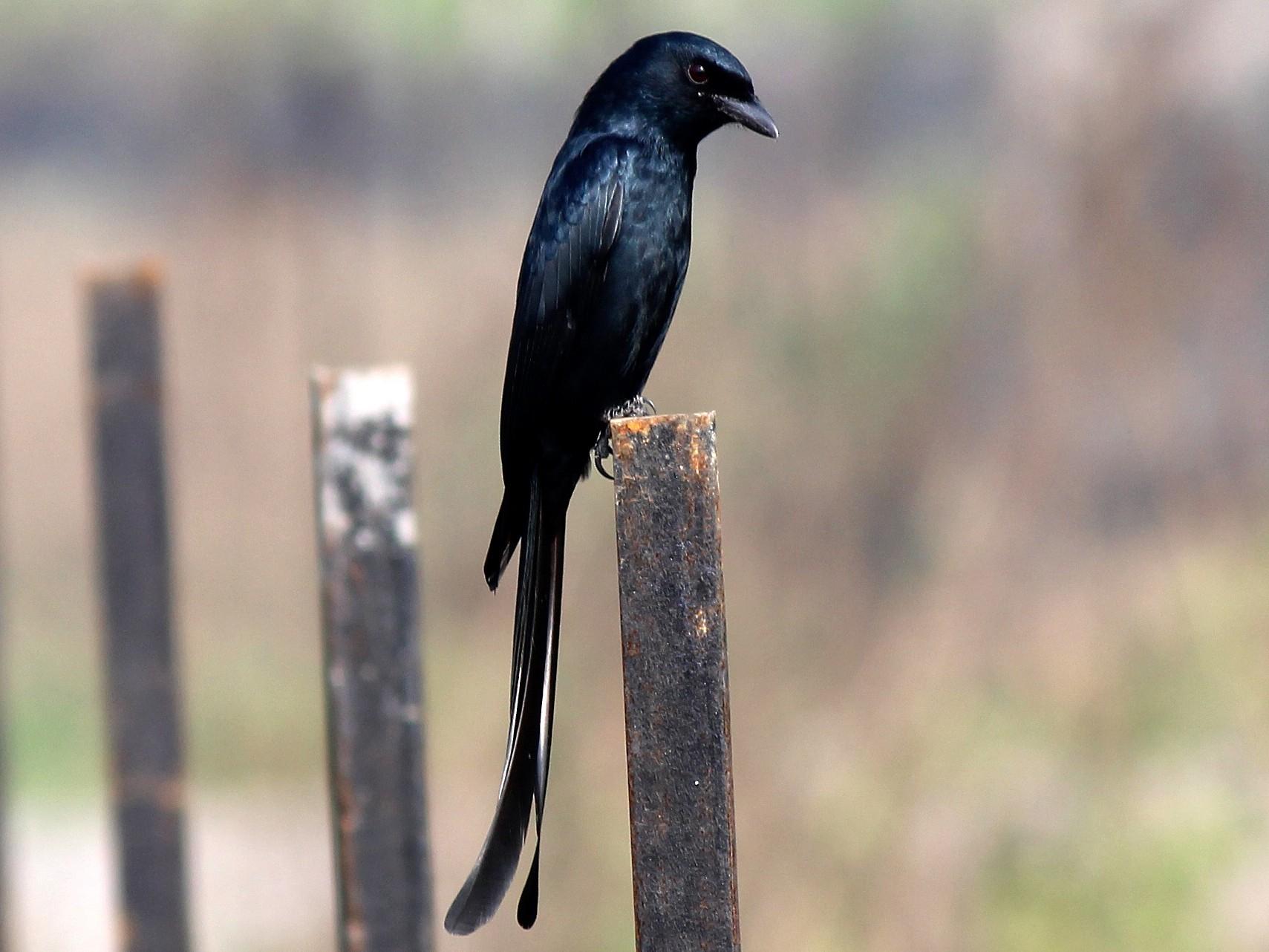 Black Drongo - Derhasar Brahma