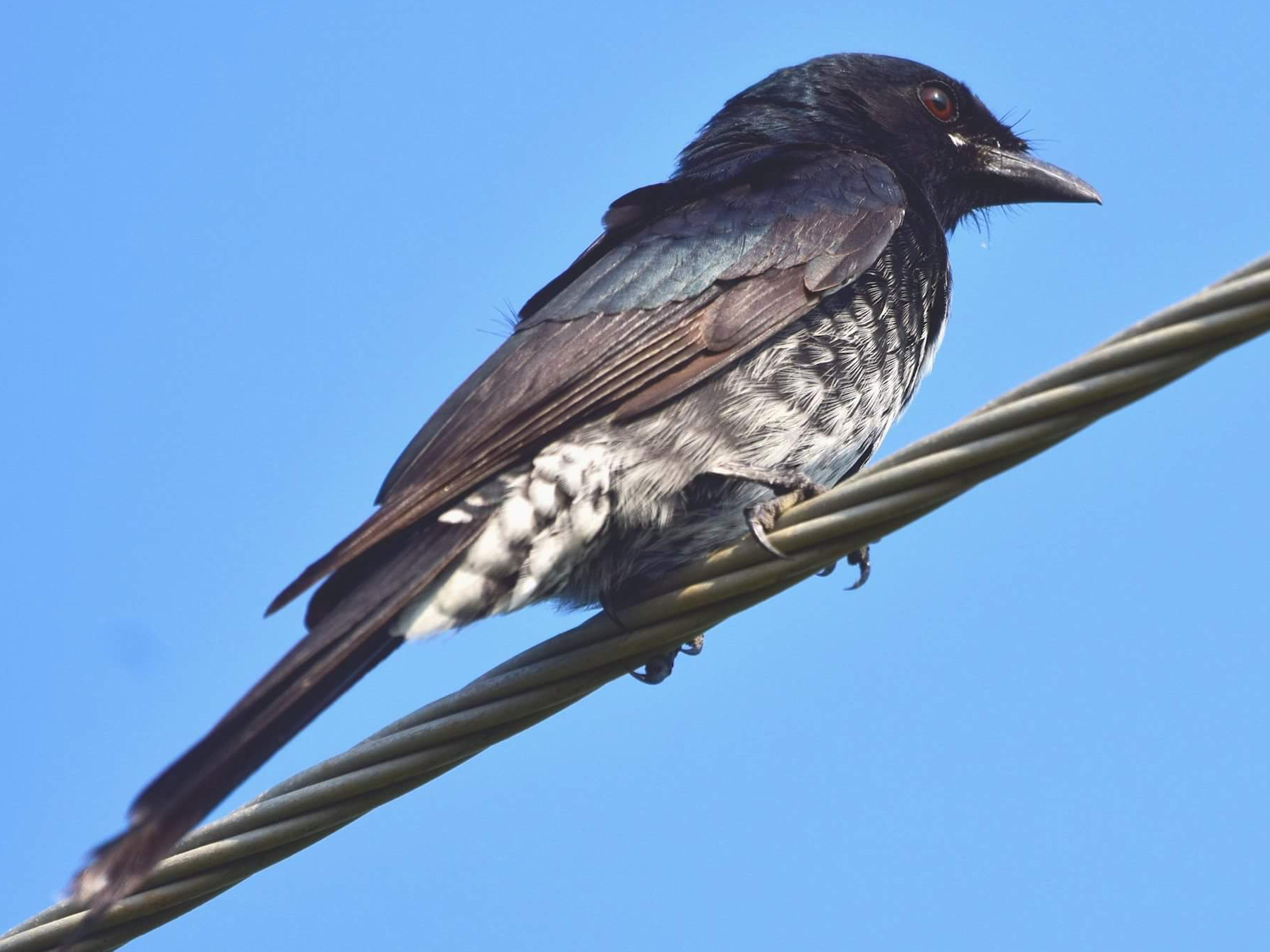 Black Drongo - mathew thekkethala