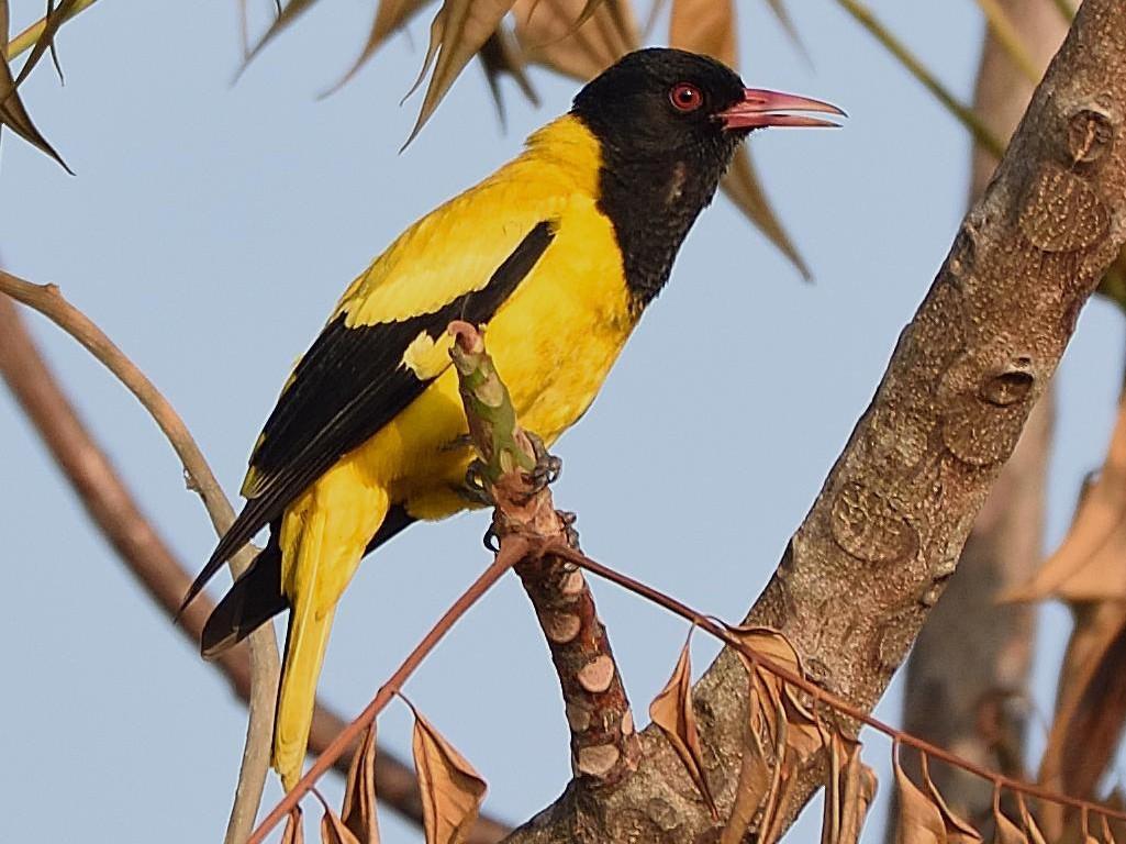 Black-hooded Oriole - Arun Prabhu