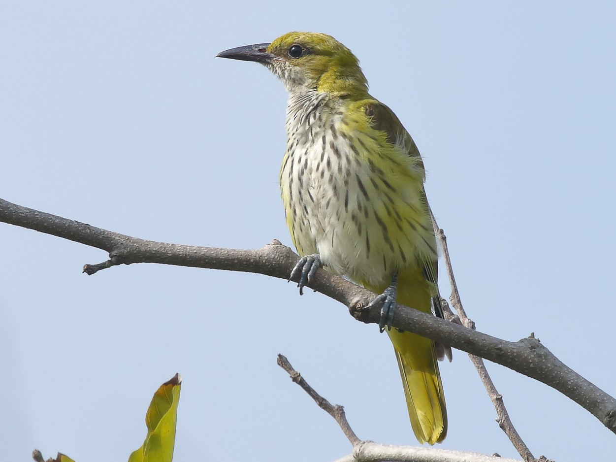 Indian Golden Oriole - Rahul  Singh