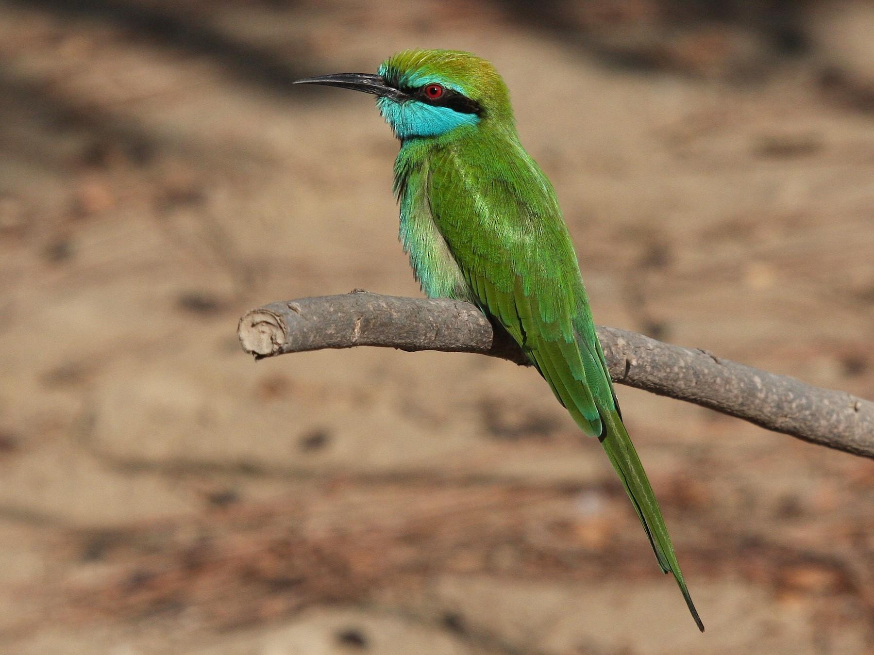 Green Bee-eater - Christoph Moning