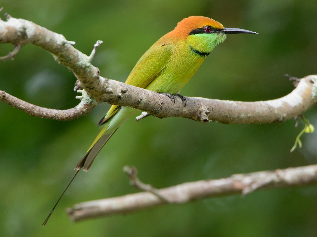 Green Bee-eater - Ayuwat Jearwattanakanok