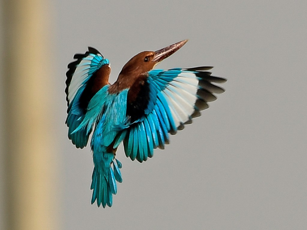 White-throated Kingfisher - Prem Raut