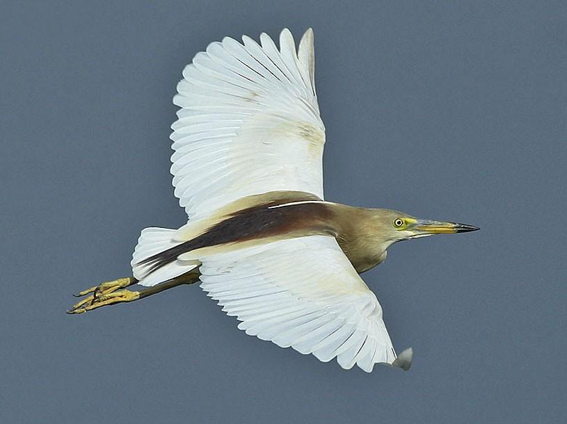 Indian Pond-Heron - Jens Eriksen