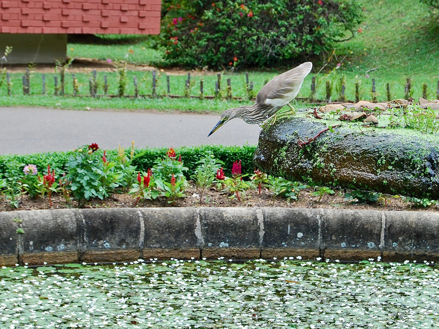 Indian Pond-Heron - Clément Berthelot