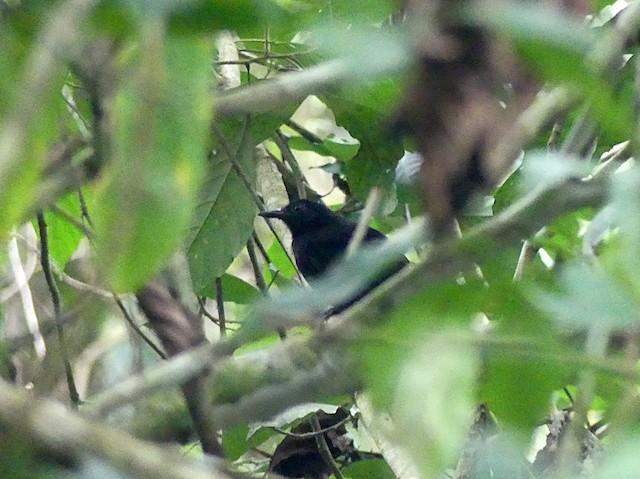 Goeldi's Antbird