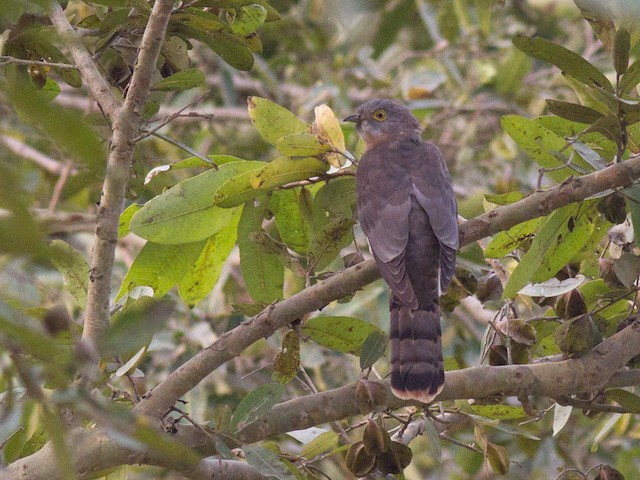 ©Frode Falkenberg - Common Hawk-Cuckoo