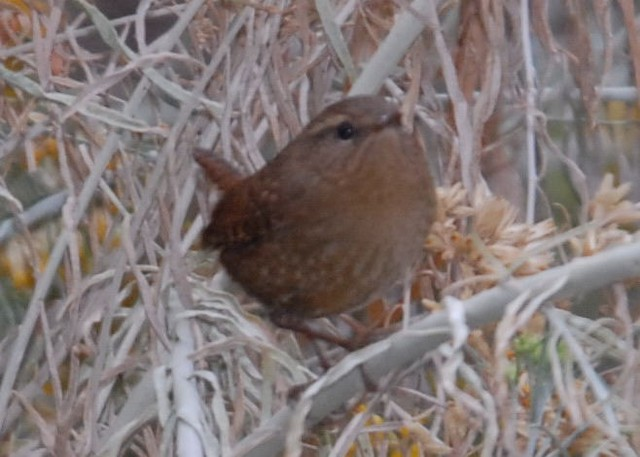 Pacific Wren (pacificus Group)