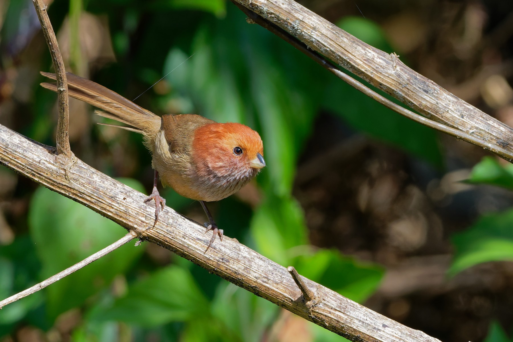 Brown-winged Parrotbill - Vincent Wang