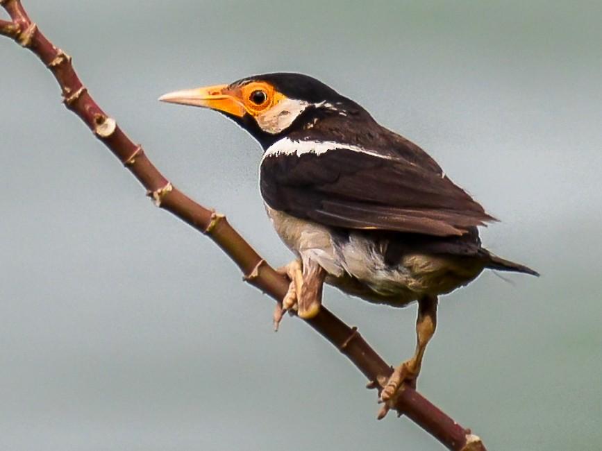 Asian Pied Starling - Arun Varghese