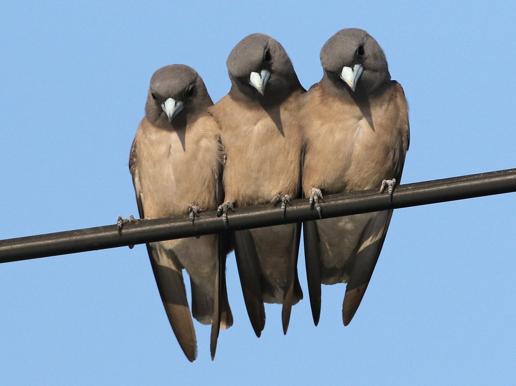 Ashy Woodswallow - Luke Seitz
