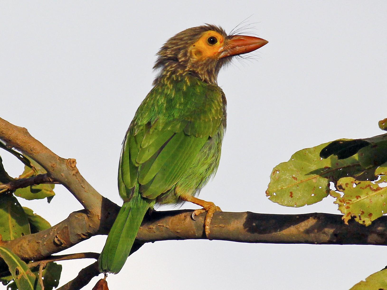 Brown-headed Barbet - Arun Bose