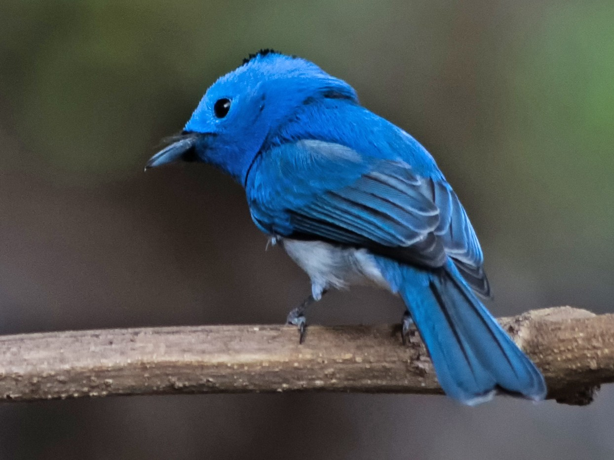 Black-naped Monarch - Aritra Mukherjee