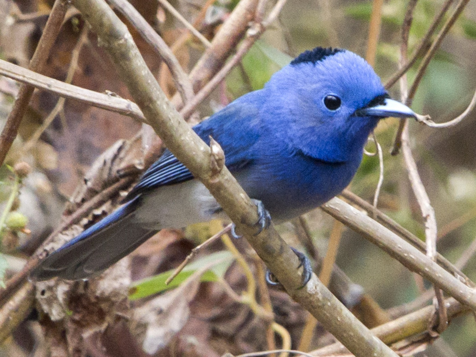 Black-naped Monarch - Ramesh Shenai