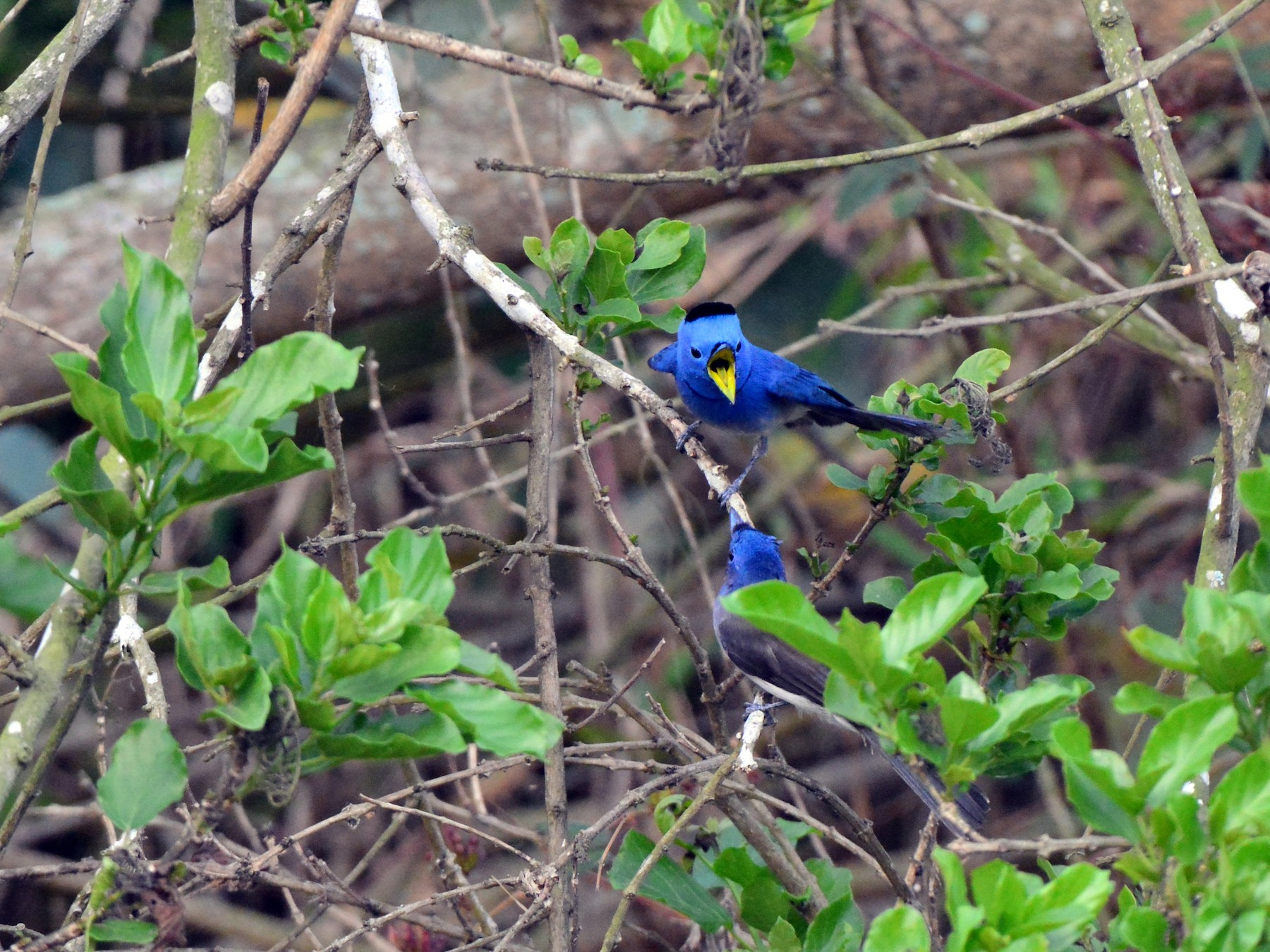 Black-naped Monarch - Jhih-Weit (志偉) TSAI (蔡)