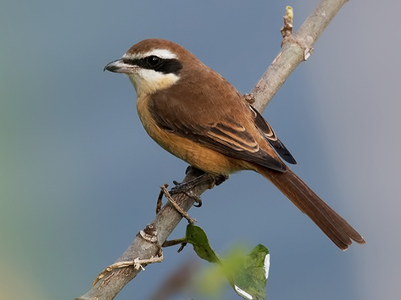 Brown Shrike - Sandip Das