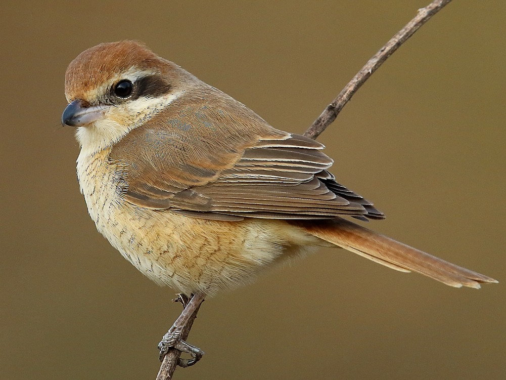 Brown Shrike - Rajinikanth Kasthuri
