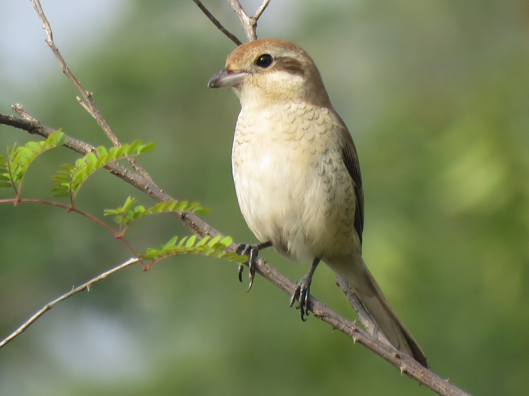 Brown Shrike - Selvaganesh K