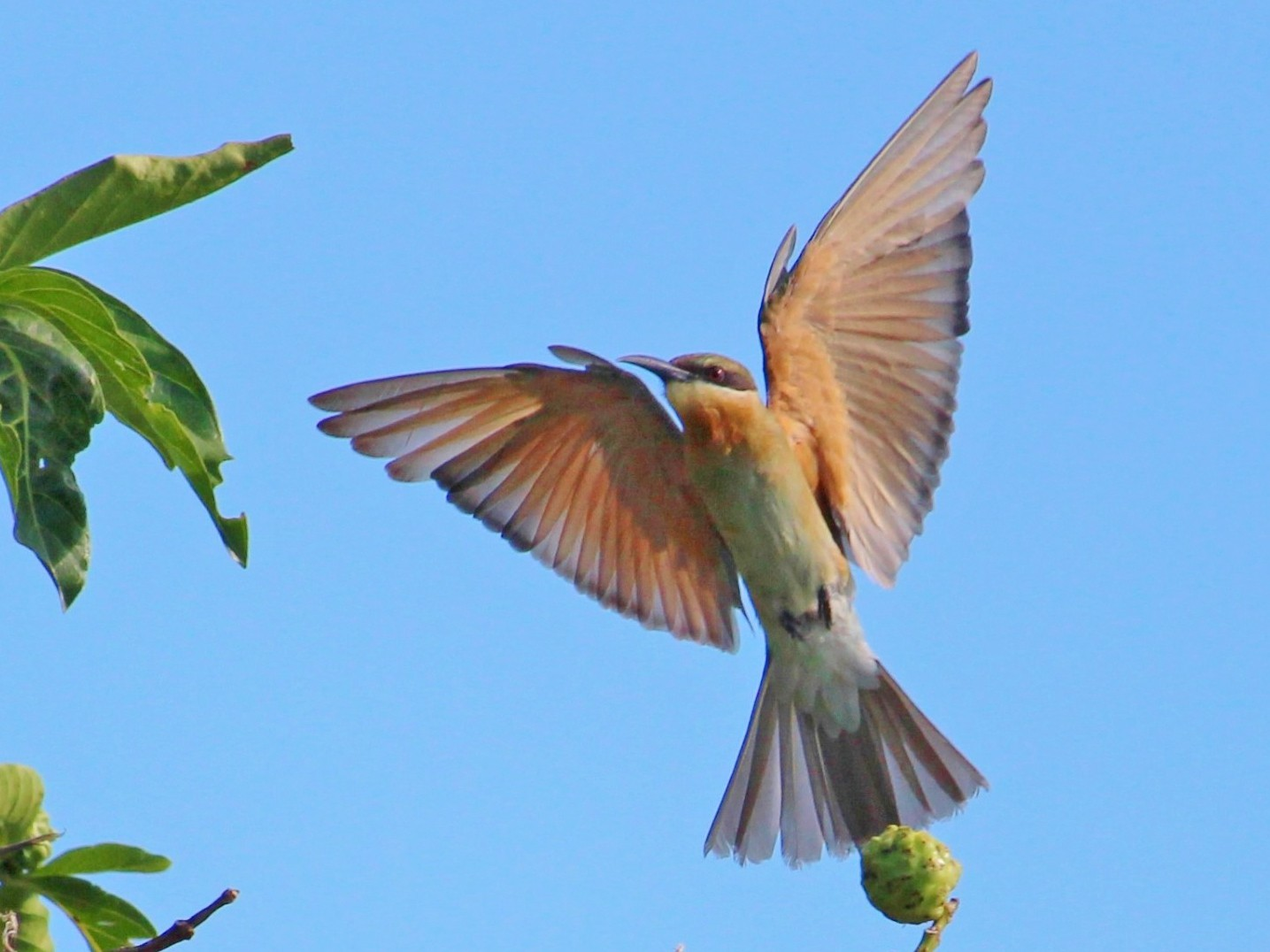 Blue-tailed Bee-eater - Bruno Durand