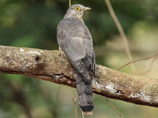 - Common Hawk-Cuckoo