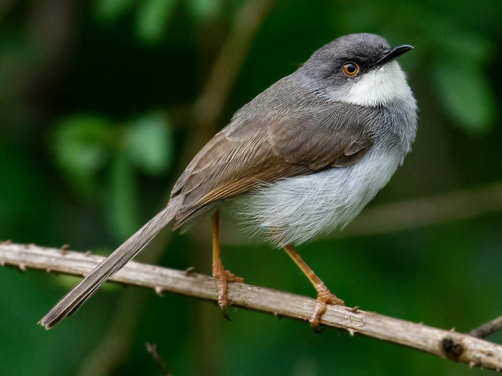 Gray-breasted Prinia - Nikhil Varma