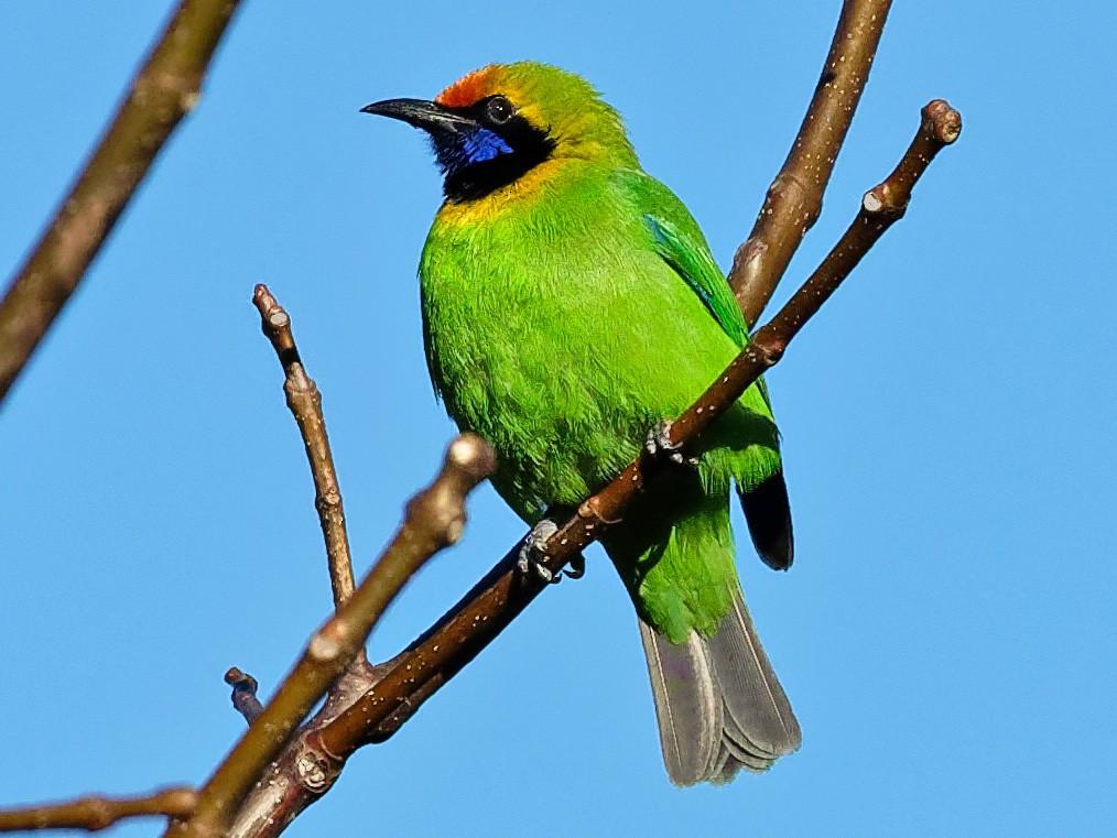 Golden-fronted Leafbird - Vincent Wang