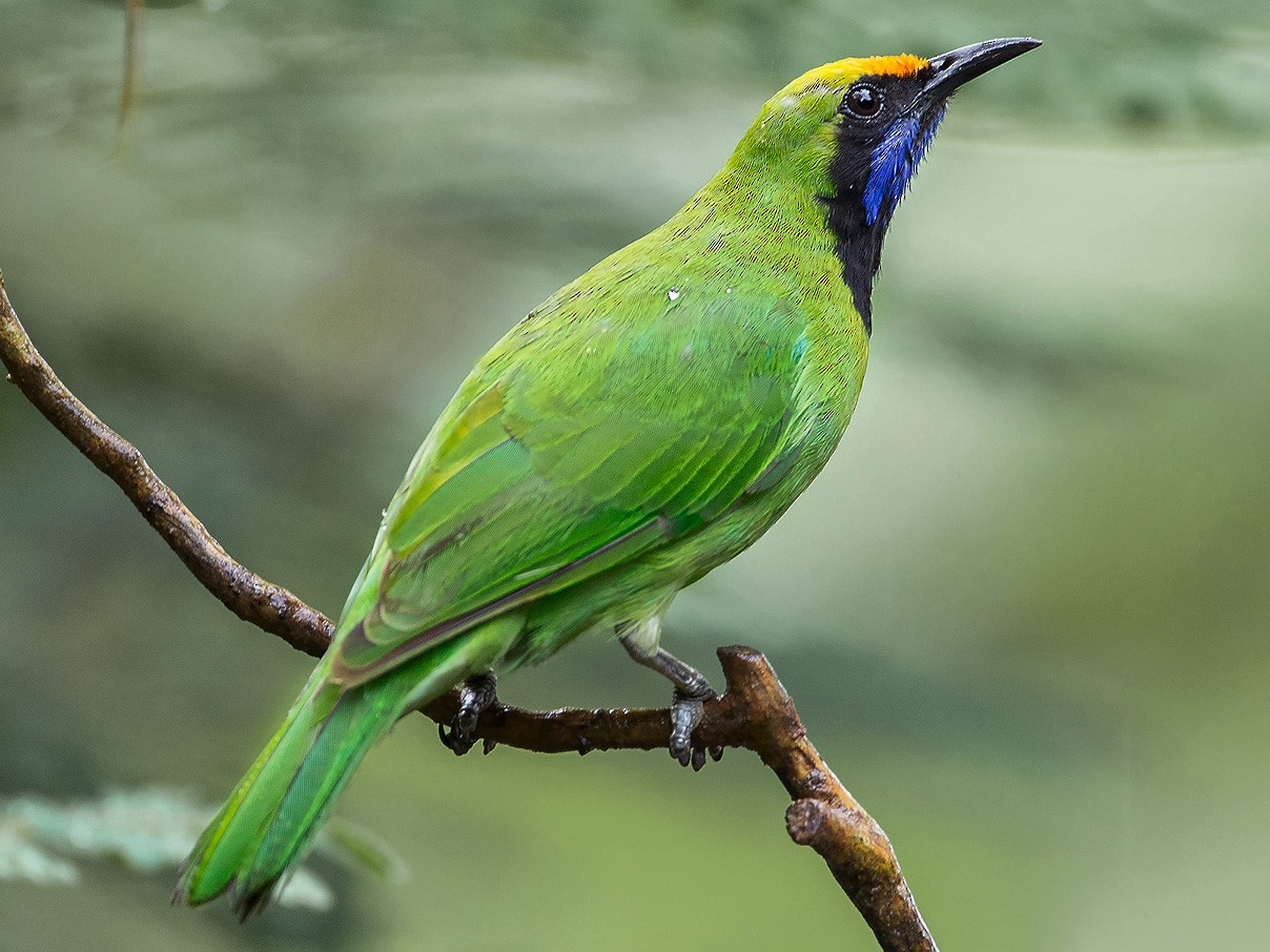 Golden-fronted Leafbird - Natthaphat Chotjuckdikul