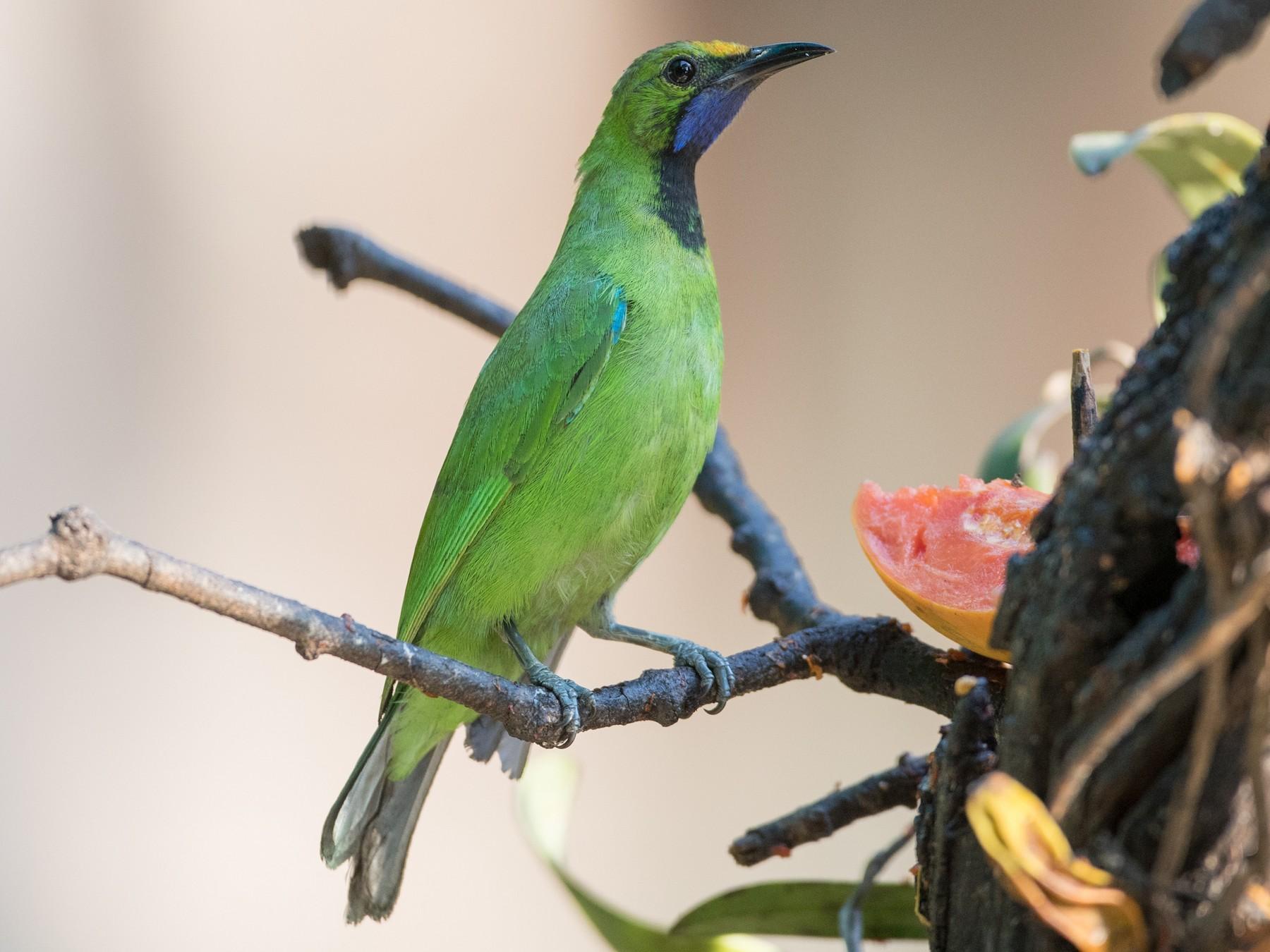 Golden-fronted Leafbird - Ian Davies