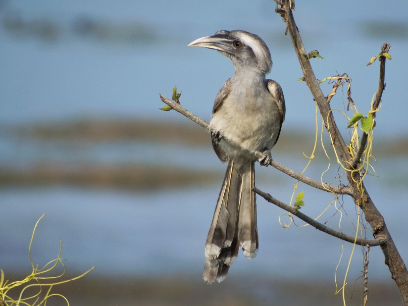 Indian Gray Hornbill - Vivek Rawat