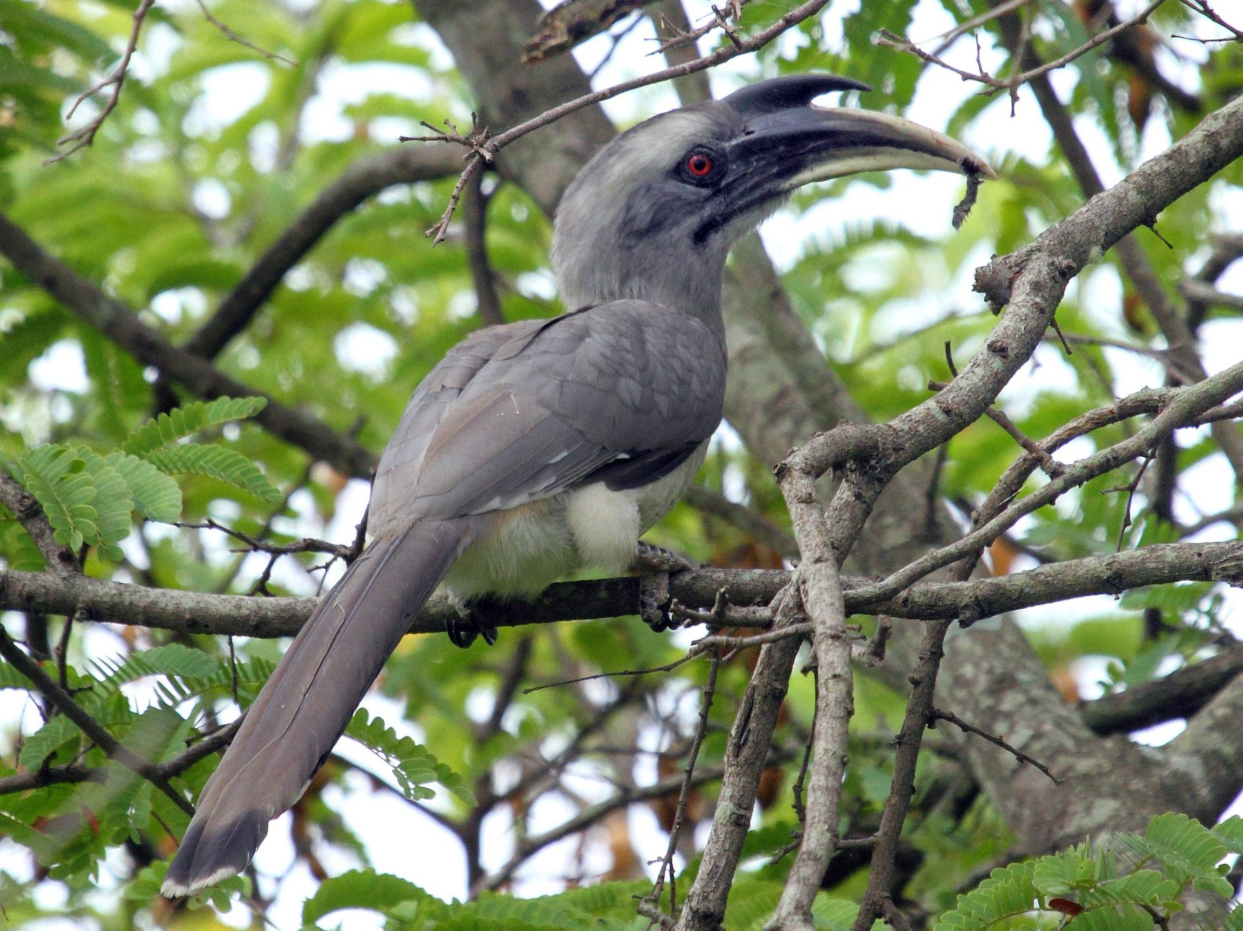 Indian Gray Hornbill - Albin Jacob