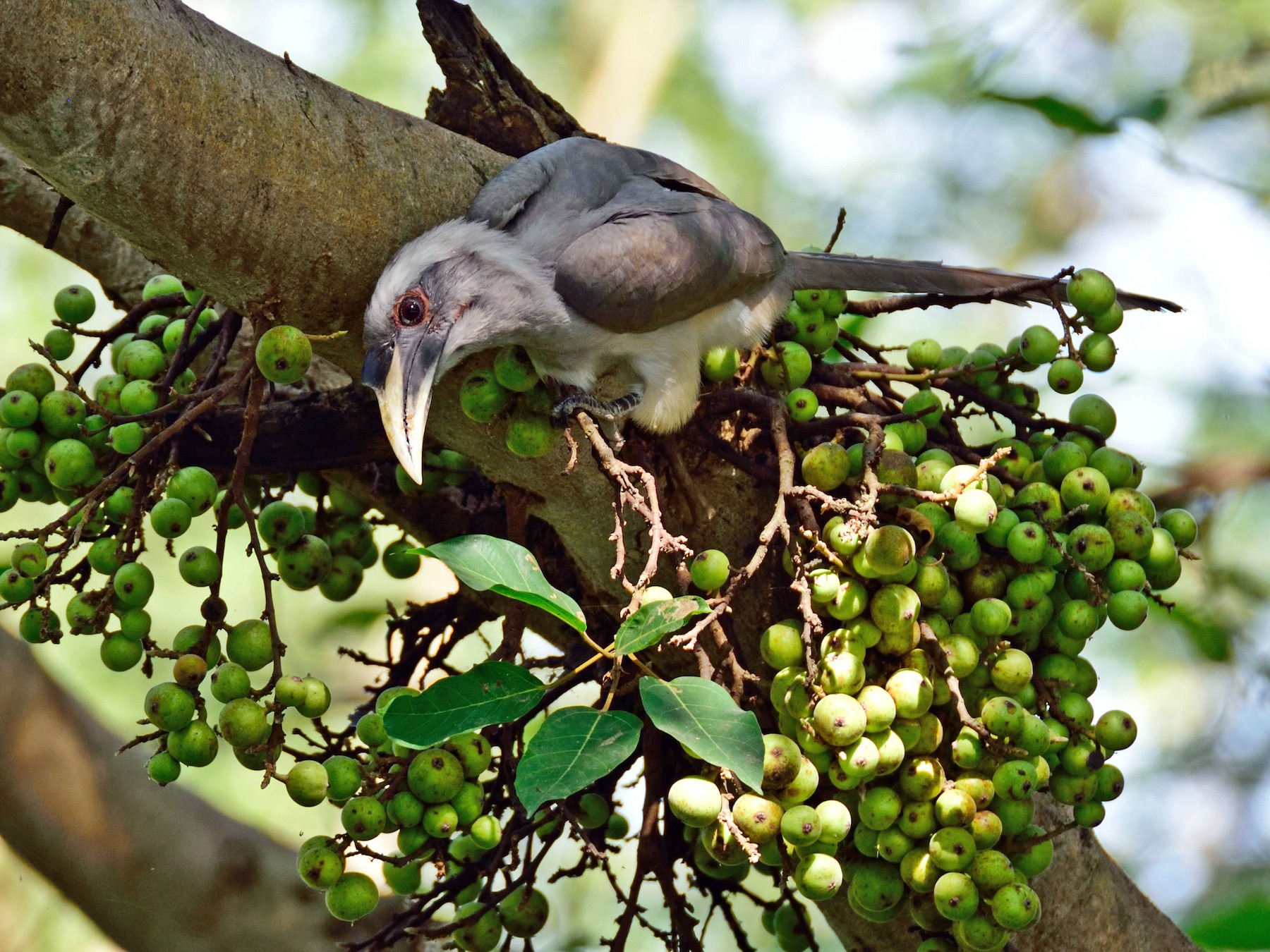 Indian Gray Hornbill - Prashobh Ailyam Nair