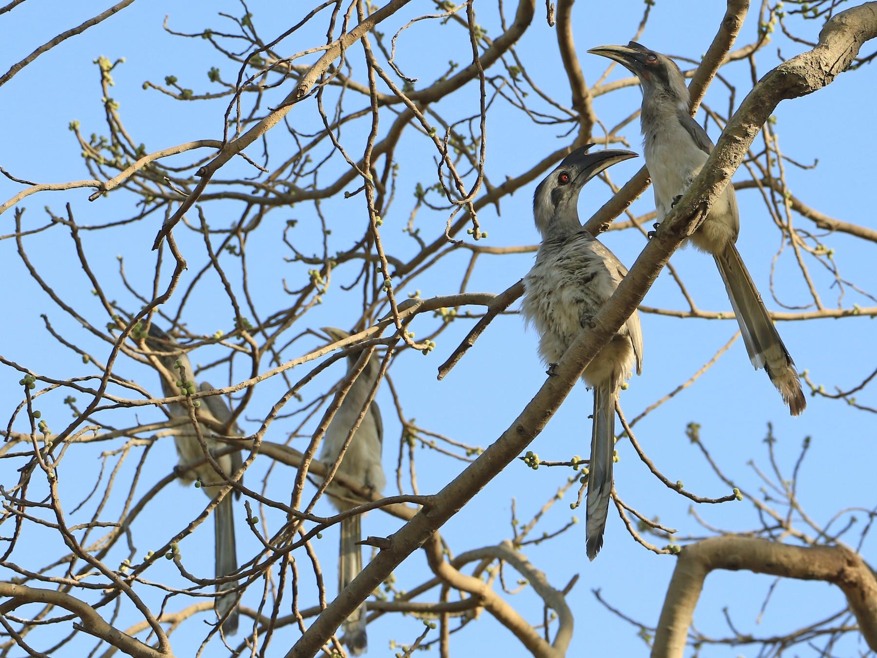 Indian Gray Hornbill - Denis Tétreault