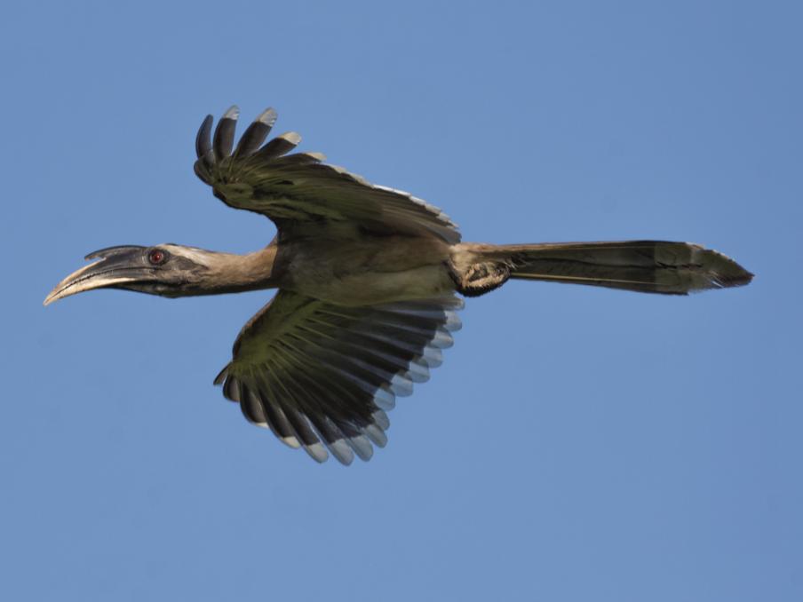Indian Gray Hornbill - Fareed Mohmed