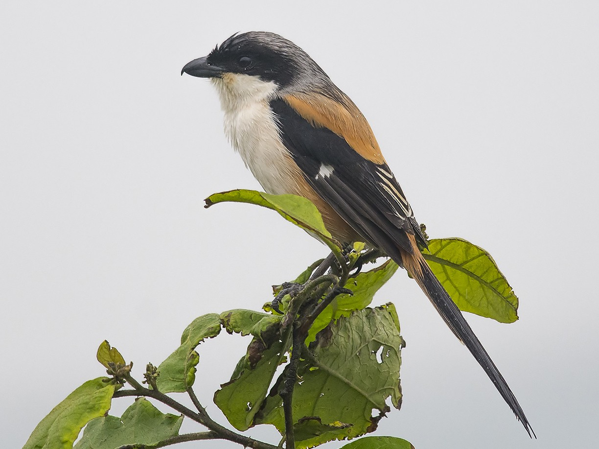 Long-tailed Shrike - Jerry Ting