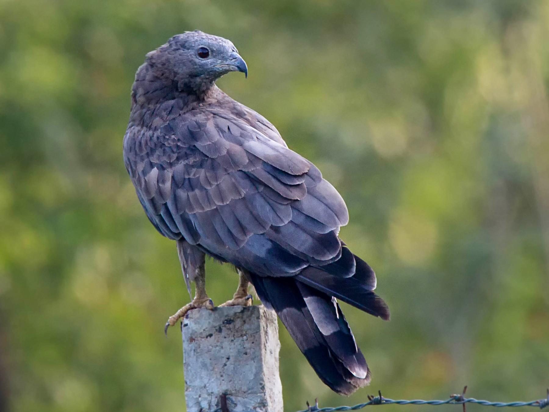 Oriental Honey-buzzard - Nilesh Shevgaonkar