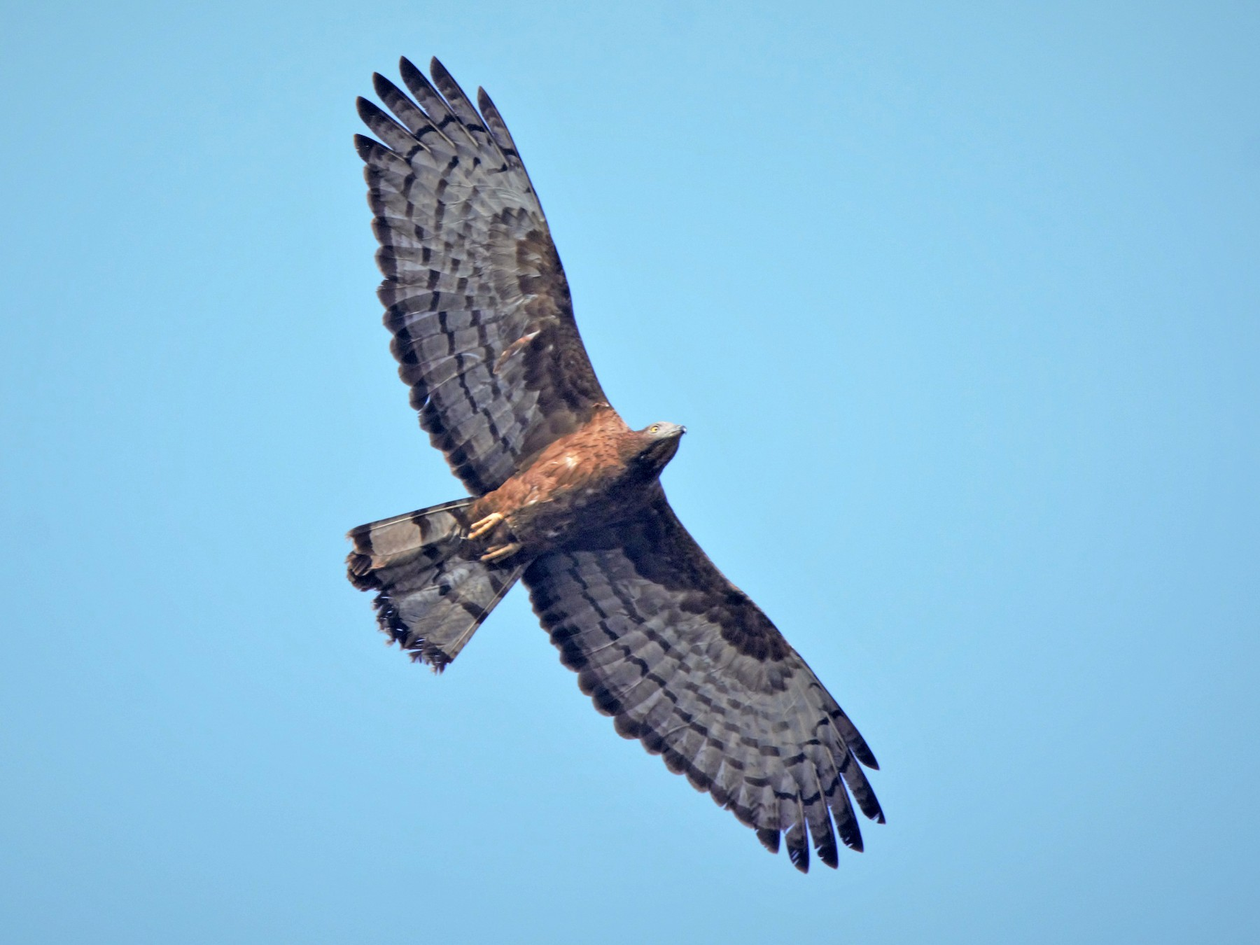 Oriental Honey-buzzard - Prem Prakash Garg