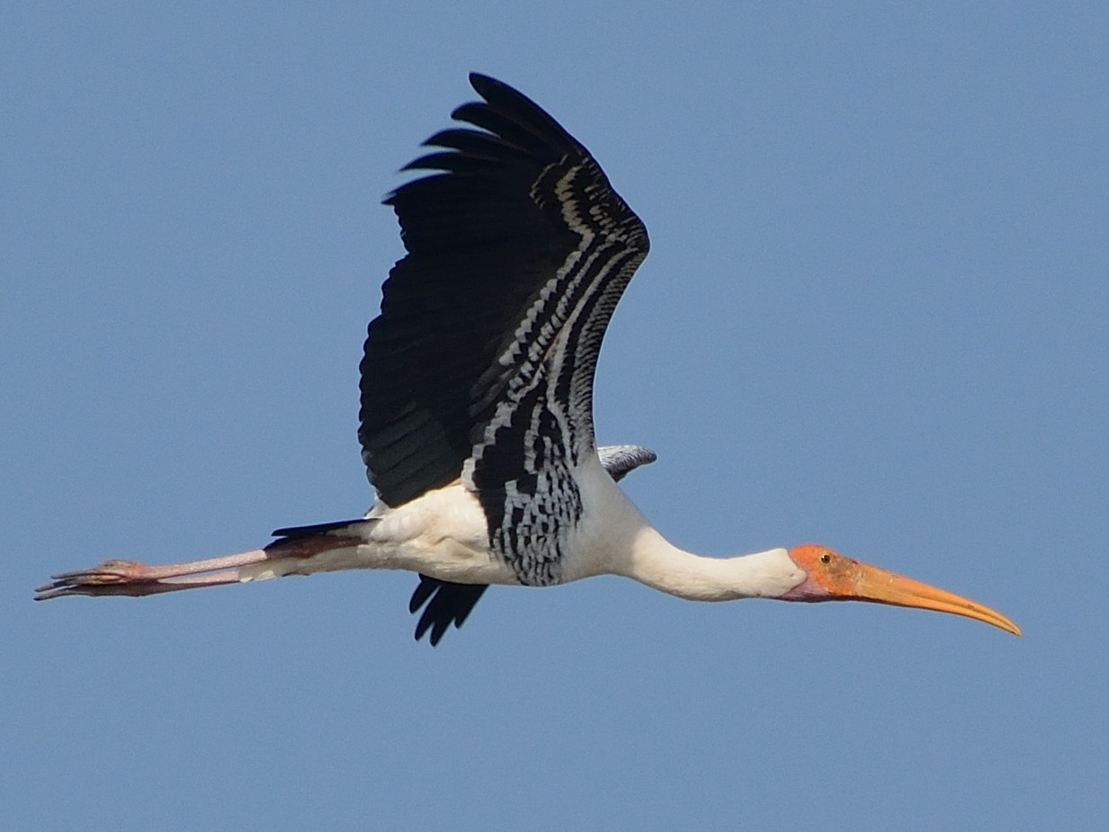 Painted Stork - Sanjay Malik